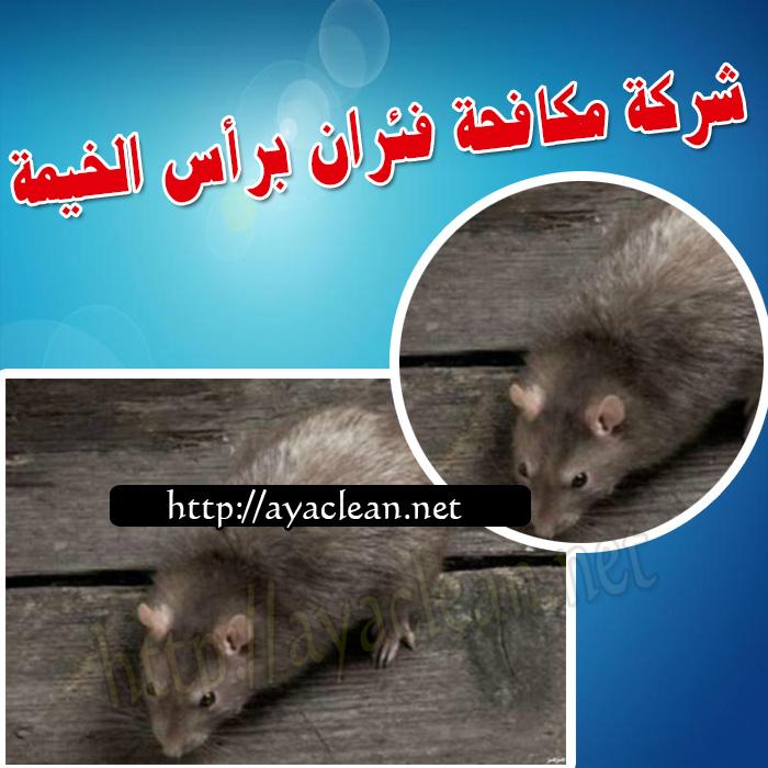 شركة مكافحة فئران براس الخيمة  0501816457